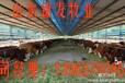 香港肉牛犊市场销售价格,山东肉牛犊养殖场。
