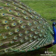 成都成年蓝孔雀多少钱只#保证成活率!图片
