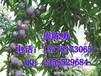 商洛李子苗品种