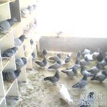 鸵鸟幼鸟多少钱一只杭州常年出售蓝孔雀?图片