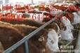 南方养肉牛可以吗