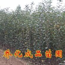 陕西柱状苹果苗5000株秦冠苹果苗嘎啦苹果苗等
