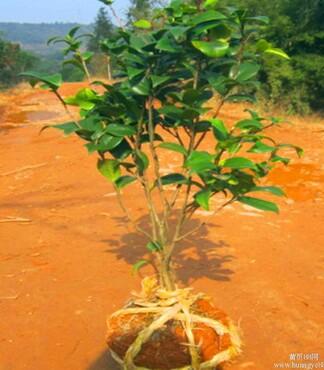 【茶花树基地自育茶花树品种齐全价格实惠成活率高_茶花价格|图片】-