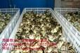 2015年山鸡种苗价格