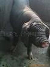 哪里有纯种太湖母猪梅山母猪仔猪猪苗小猪出售卖