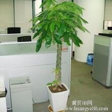 总部绿植租赁、总部绿植租摆之发财树养护办法