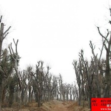 景景观朴树,大朴树,野生朴树,移栽朴树