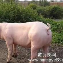 仔猪求购6元一斤苗猪交易中心