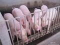 红顺猪场出售仔猪图片