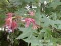 供应五角枫小苗3-8公分五角枫种植基地山西五角枫价格3年五角枫专卖图片