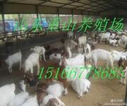 山羊养殖波尔山羊养殖场最新价格图片