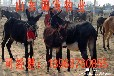 陕西小驴驹市场销售价格,小驴驹价格报价单,山东小驴驹养殖场。