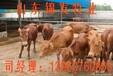 小牛苗价格,小牛苗销售价格。