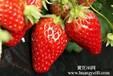 余杭区乔司镇三鑫工业园戚家村新一批红颜奶牛草莓即将新鲜上市