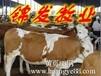 江西西门塔尔牛价格,西门塔尔牛市场销售价格。
