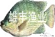 广西岑溪大量良种罗非鱼苗