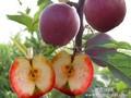 红肉苹果苗_红肉苹果树苗价格图片