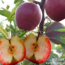 红肉苹果苗_红肉苹果树苗价格