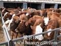 肉牛犊价格图片