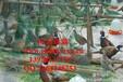 野鸡养殖致富经,野鸡种苗特别供应,免费为养殖户提供养殖技术支持