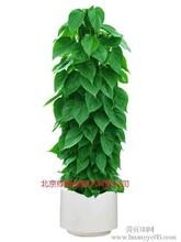 供应北京绿植租赁、北京绿植租摆、北京花卉销售服务哪家好