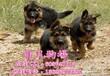 哪里有卖德国牧羊犬广州纯种德国牧羊犬多少钱一只