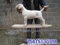出售杜高犬杜高犬价格杜高犬养殖场杜高犬幼犬多少钱一只图片