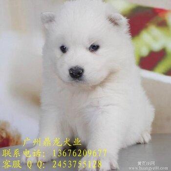 纯白色萨摩耶幼犬很可爱雪橇萨摩耶出售可上门看