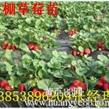 苗圃直销甜宝草莓种苗正宗红颜草莓种苗看铺起苗价格最低