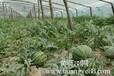 哪里有糖度高的西瓜,泰安金泉林西瓜