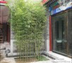 北京竹子种植基地出售各种竹子品种有早园竹金镶玉竹紫竹图片