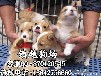 茂名哪里有卖纯种柯基犬,茂名纯种柯基犬多少钱