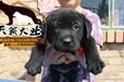 潮州市哪里有专业养殖场潮州哪里有买卖纯正血统拉布拉多导盲犬潮州拉布拉多图片