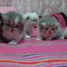 家养的纯种加菲猫宝宝找爸爸妈妈了。图片