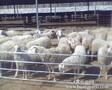 牛网-羊网-牛羊技术网-牛羊疾病防疫网图片