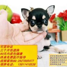 买纯种拉布拉多狗狗,金毛价格优惠送用品狗证