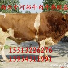 山西西门塔尔肉牛犊最低价供应