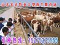 黑龙江哪里有西门塔尔母牛犊卖?#图片