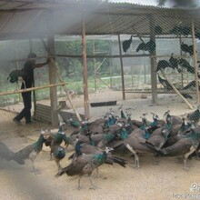 广西柳州孔雀养殖