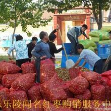 山东鲜枣产地迎来销售旺季