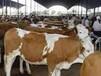 山西省忻州市肉牛养殖合作社欢迎您