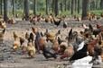 柴鸡蛋笨鸡蛋土鸡蛋首选邢台养殖社自然放养保证