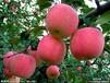 山东早熟苹果价格