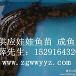 2014年新一年最新批发娃娃鱼价格_娃娃鱼商品鱼大量供应图片