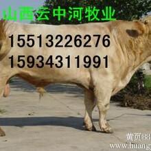 山西夏洛莱肉牛犊养殖价格