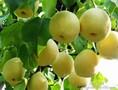 砀山酥梨价格砀山酥梨批发陕西砀山酥梨价格图片