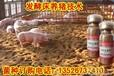 哪里有用发酵床技术养猪的,效果好吗?