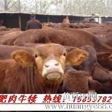 肉牛胚胎移植方法
