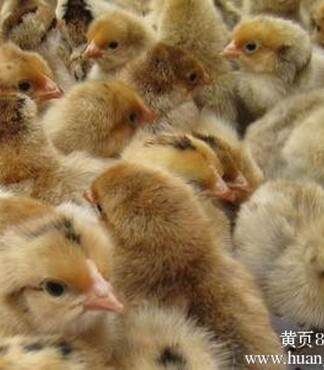 宁波817鸡苗价格817鸡苗多少钱一只 -鸡苗
