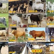 鲁西黄牛养殖出售